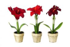 Small Potted Amaryllis